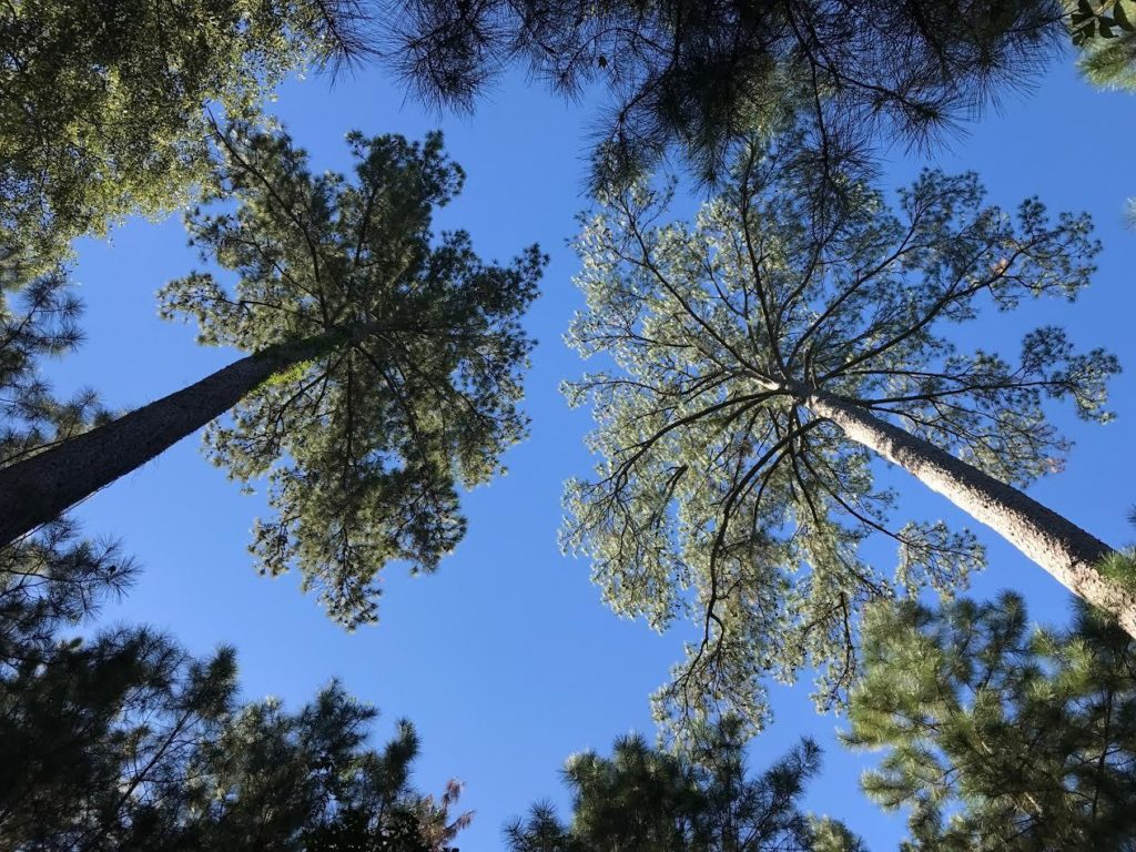 looking-up-at-trees